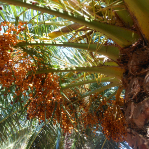 Canarian Palm Tree, Endemic